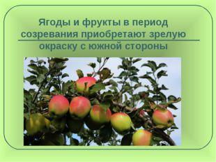 Ягоды и фрукты в период созревания приобретают зрелую окраску с южной стороны