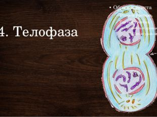 4. Телофаза Митоз относительно короткая стадия жизни клетки и продолжается от
