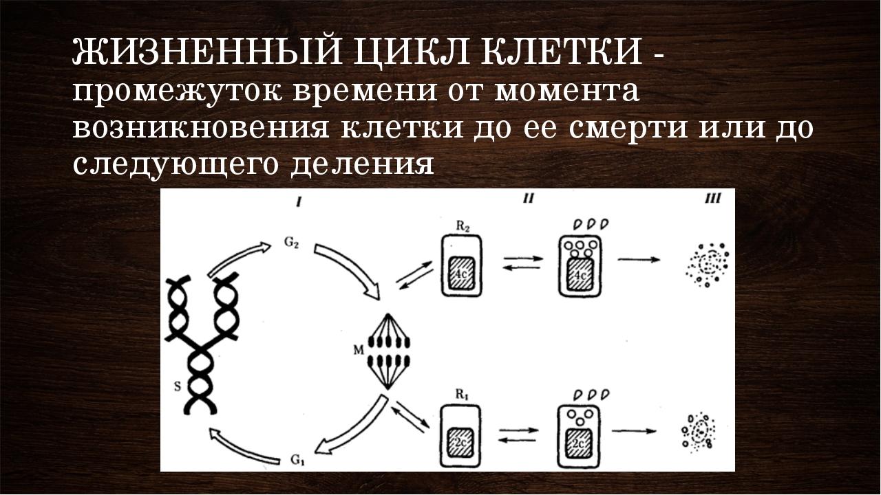 ЖИЗНЕННЫЙ ЦИКЛ КЛЕТКИ - промежуток времени от момента возникновения клетки до...