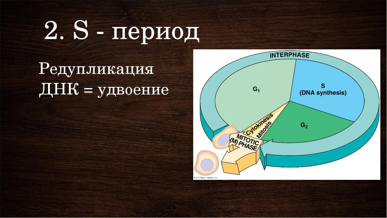 2. S - период Редупликация ДНК = удвоение Клетка удваивает ДНК. Двойная спира...