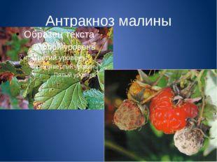 Антракноз малины