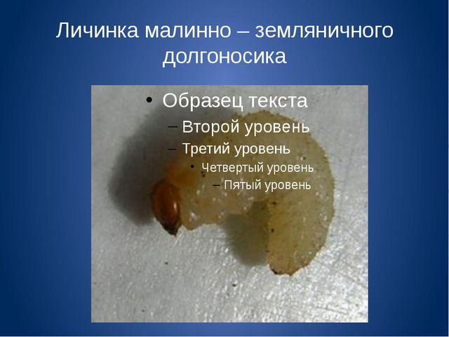Личинка малинно – земляничного долгоносика