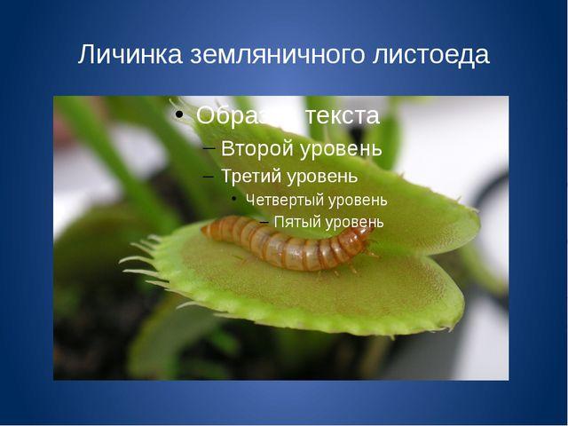 Личинка земляничного листоеда