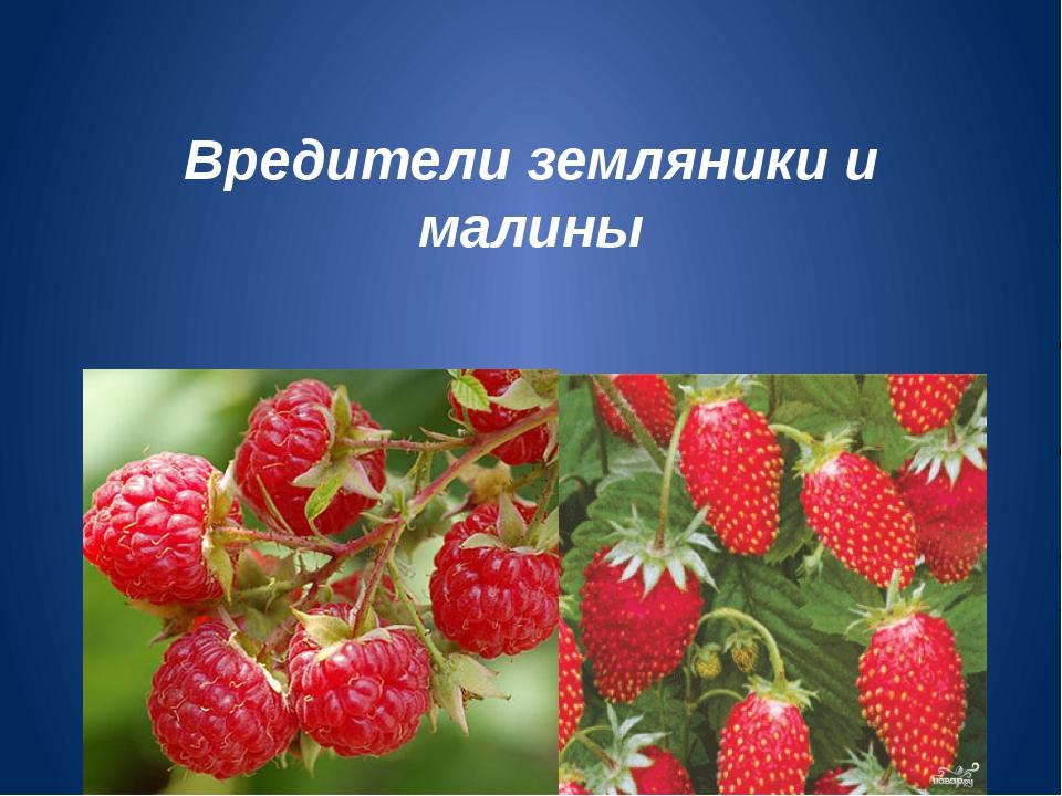 Вредители земляники и малины
