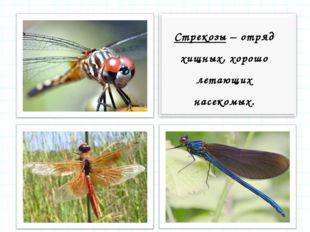 Стрекозы – отряд хищных, хорошо летающих насекомых.