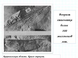 Возраст отпечатка более 300 миллионов лет. Архангельская область. Крыло стрек