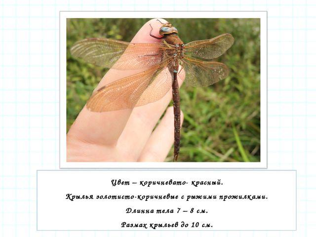 Цвет – коричневато- красный. Крылья золотисто-коричневые с рыжими прожилками....