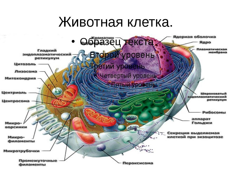 Животная клетка.