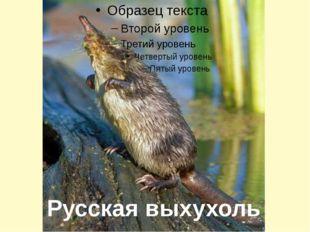 Русская выхухоль
