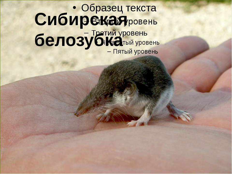 Сибирская белозубка