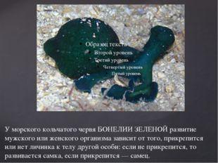 У морского кольчатого червя БОНЕЛИИ ЗЕЛЕНОЙ развитие мужского или женского ор