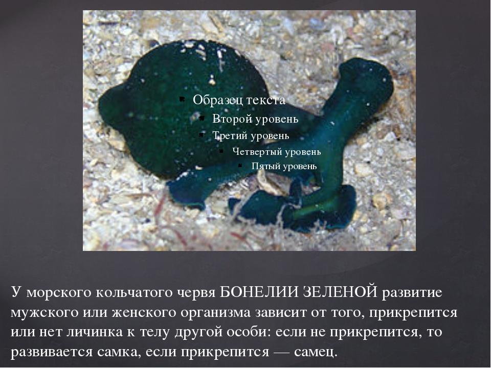 У морского кольчатого червя БОНЕЛИИ ЗЕЛЕНОЙ развитие мужского или женского ор...