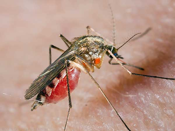 http://nasekomie.ucoz.ru/komar.jpg