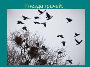 Гнезда грачей.