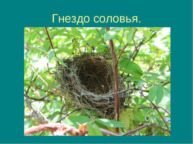 Гнездо соловья.