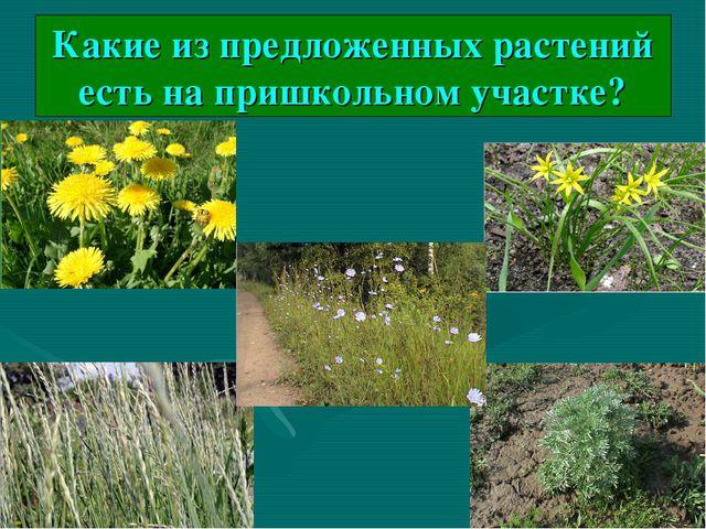 Какие из предложенных растений есть на пришкольном участке?