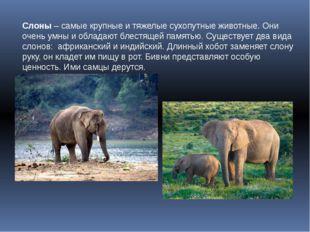 Слоны – самые крупные и тяжелые сухопутные животные. Они очень умны и обладаю