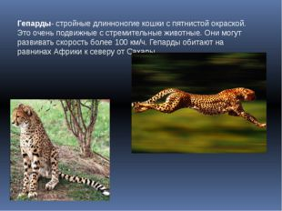Гепарды- стройные длинноногие кошки с пятнистой окраской. Это очень подвижные