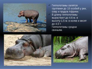 Гиппопотамы селятся группами до 15 особей у рек, озер и прудов Африки. В длин