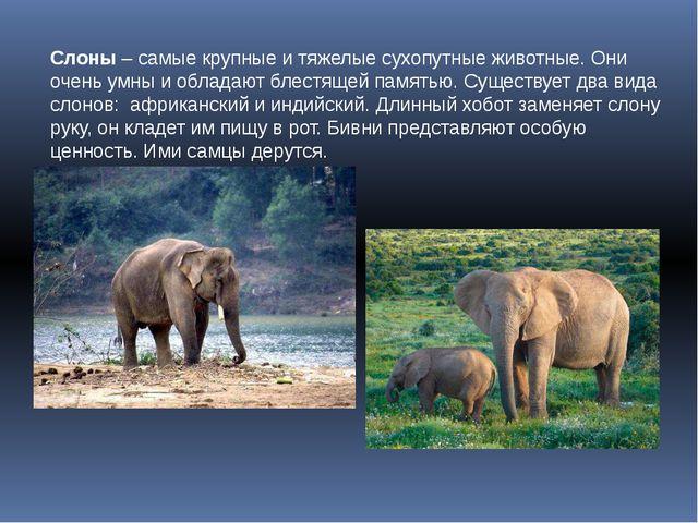 Слоны – самые крупные и тяжелые сухопутные животные. Они очень умны и обладаю...