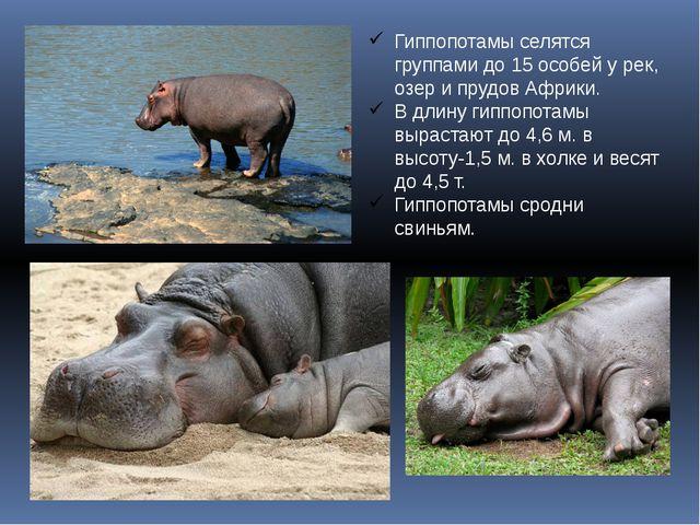 Гиппопотамы селятся группами до 15 особей у рек, озер и прудов Африки. В длин...