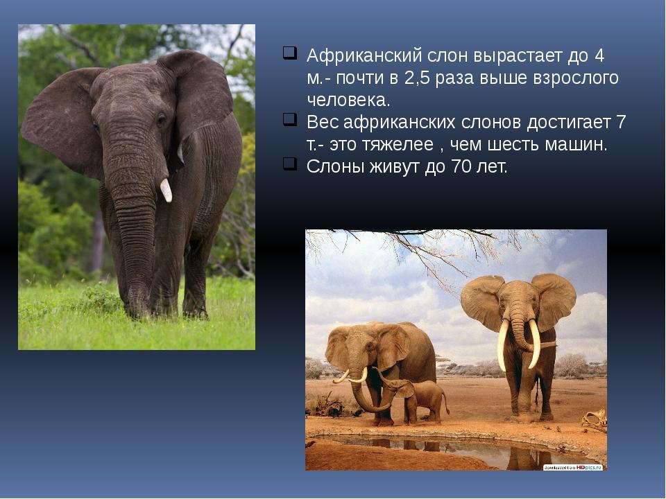 Африканский слон вырастает до 4 м.- почти в 2,5 раза выше взрослого человека....