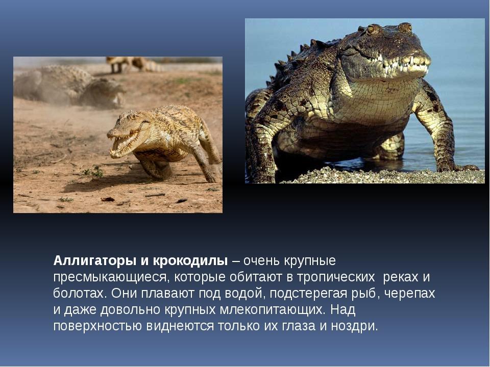Аллигаторы и крокодилы – очень крупные пресмыкающиеся, которые обитают в троп...