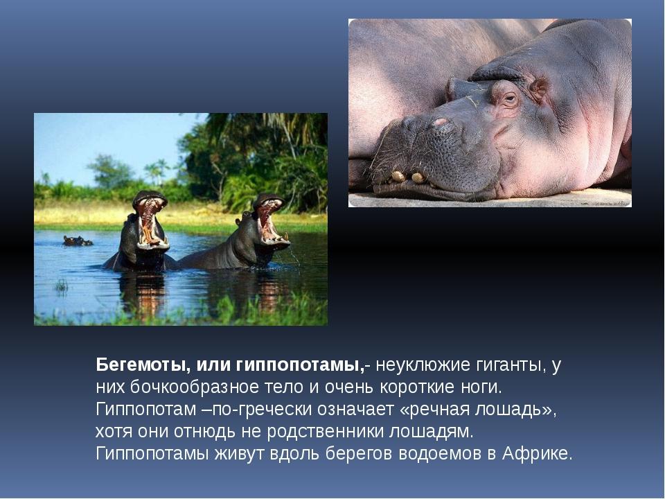 Бегемоты, или гиппопотамы,- неуклюжие гиганты, у них бочкообразное тело и оче...