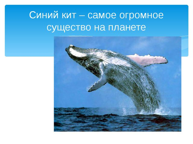 Синий кит – самое огромное существо на планете