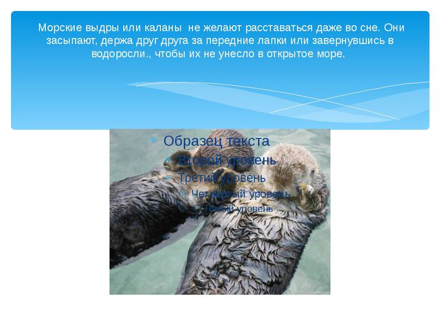 Морские выдры или каланы не желают расставаться даже во сне. Они засыпают, д...