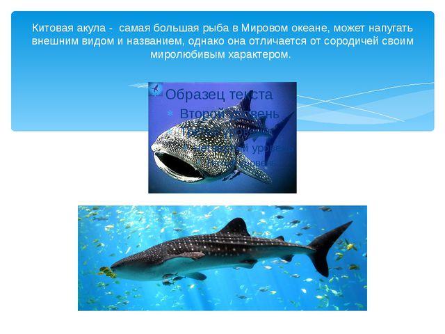 Китовая акула - самая большая рыба в Мировом океане, может напугать внешним в...