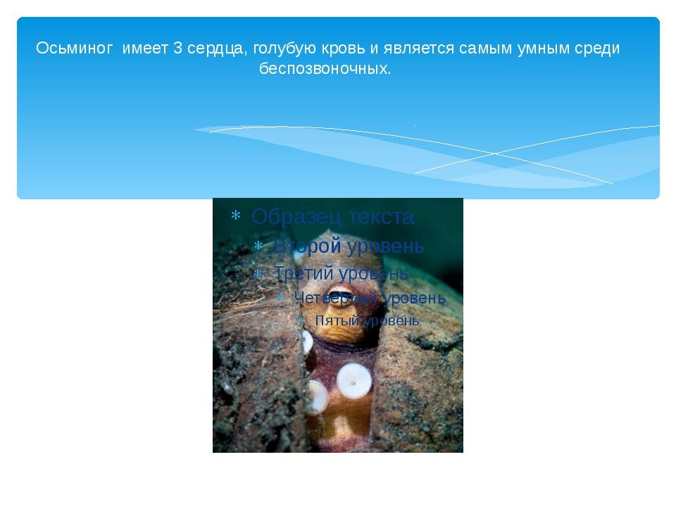 Осьминог имеет 3 сердца, голубую кровь и является самым умным среди беспозвон...