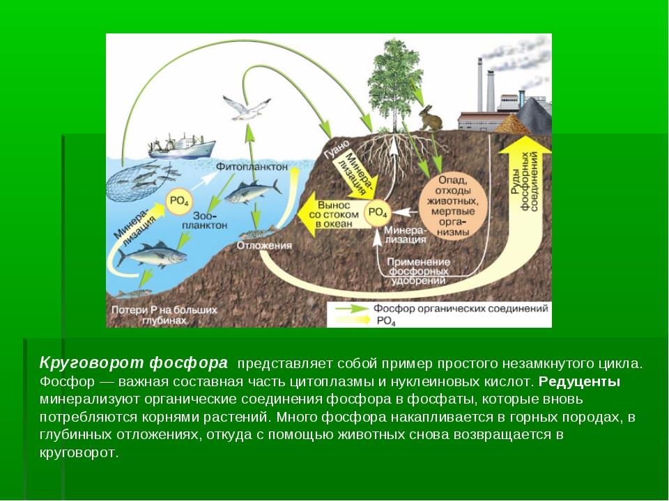 Круговорот фосфора представляет собой пример простого незамкнутого цикла. Фос...