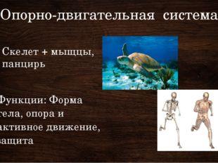 Опорно-двигательная система Скелет + мыщцы, панцирь Функции: Форма тела, опор
