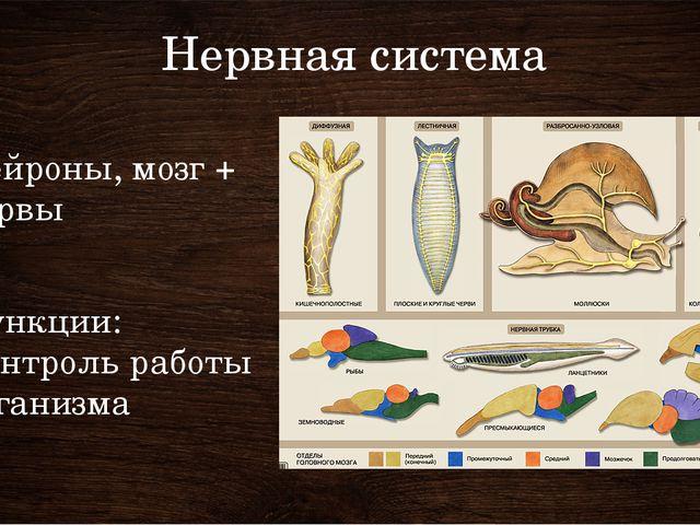 Нервная система Нейроны, мозг + нервы Функции: Контроль работы организма