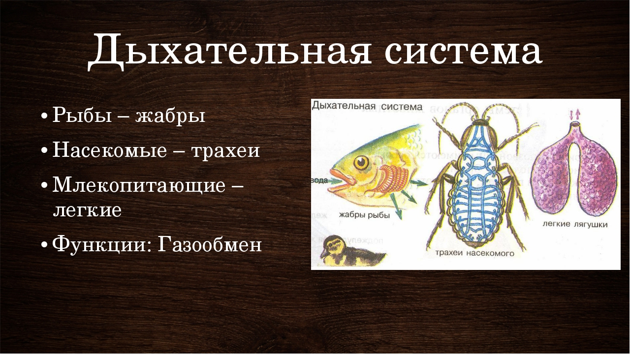 Дыхательная система Рыбы – жабры Насекомые – трахеи Млекопитающие – легкие Фу...