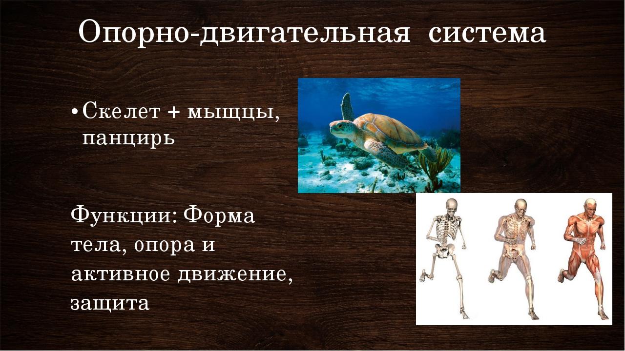 Опорно-двигательная система Скелет + мыщцы, панцирь Функции: Форма тела, опор...