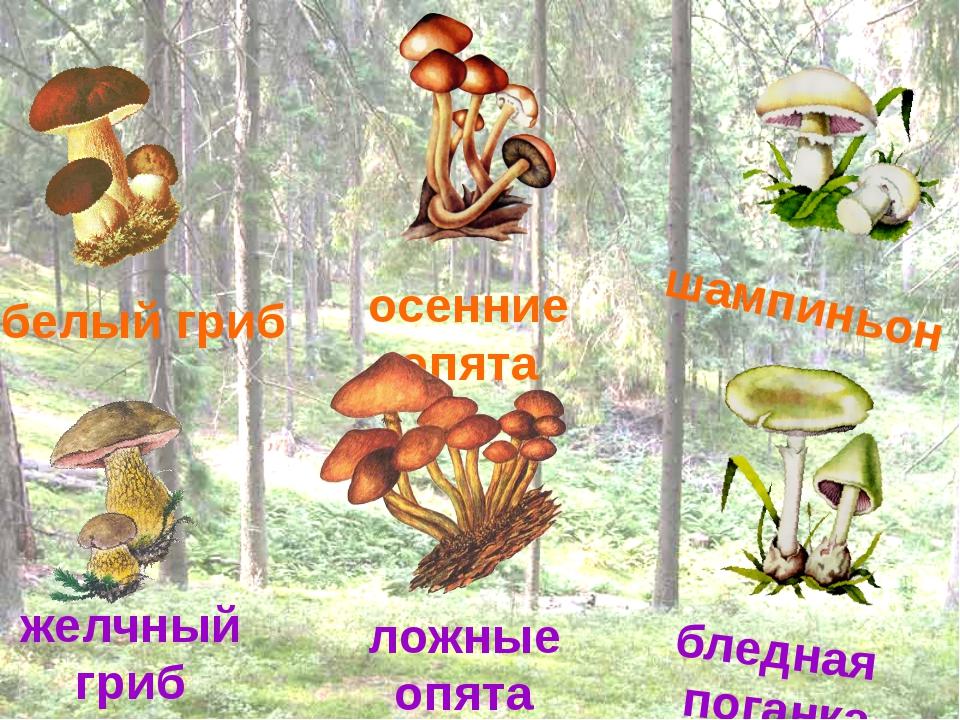 белый гриб осенние опята шампиньон желчный гриб ложные опята бледная поганка