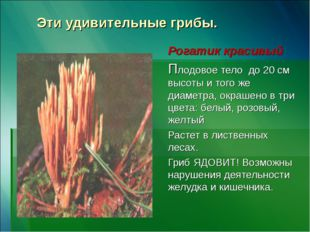 Эти удивительные грибы. Рогатик красивый Плодовое тело до 20 см высоты и того