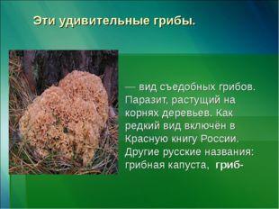 Эти удивительные грибы. Спара́ссис курча́вый, или Спарассис кудря́вый — вид с
