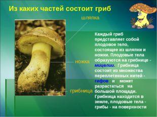 шляпка ножка грибница Из каких частей состоит гриб Каждый гриб представляет с