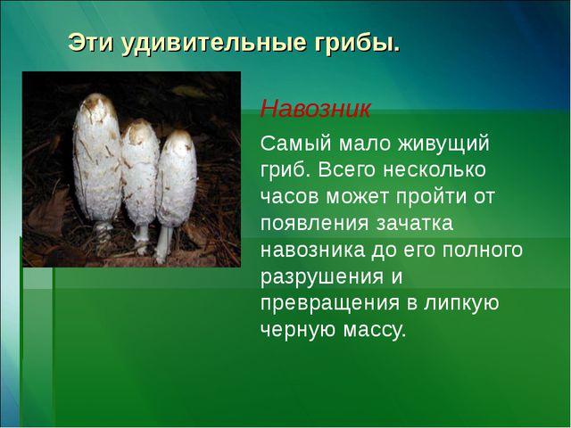 Эти удивительные грибы. Навозник Самый мало живущий гриб. Всего несколько час...