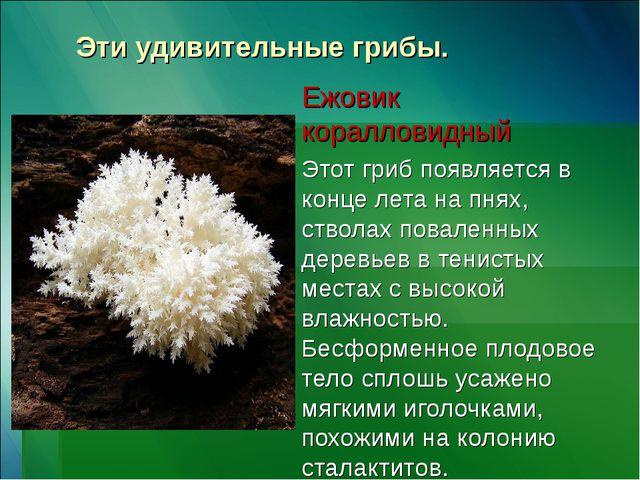 Эти удивительные грибы. Ежовик коралловидный Этот гриб появляется в конце лет...
