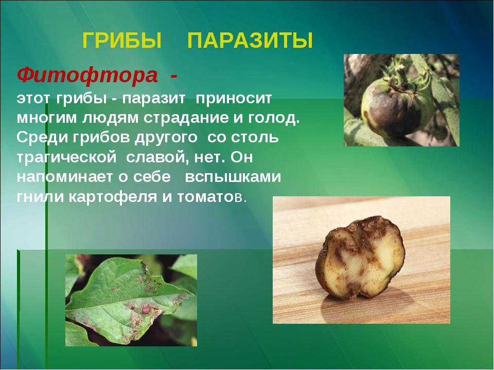 ГРИБЫ ПАРАЗИТЫ Фитофтора - этот грибы - паразит приносит многим людям страдан...