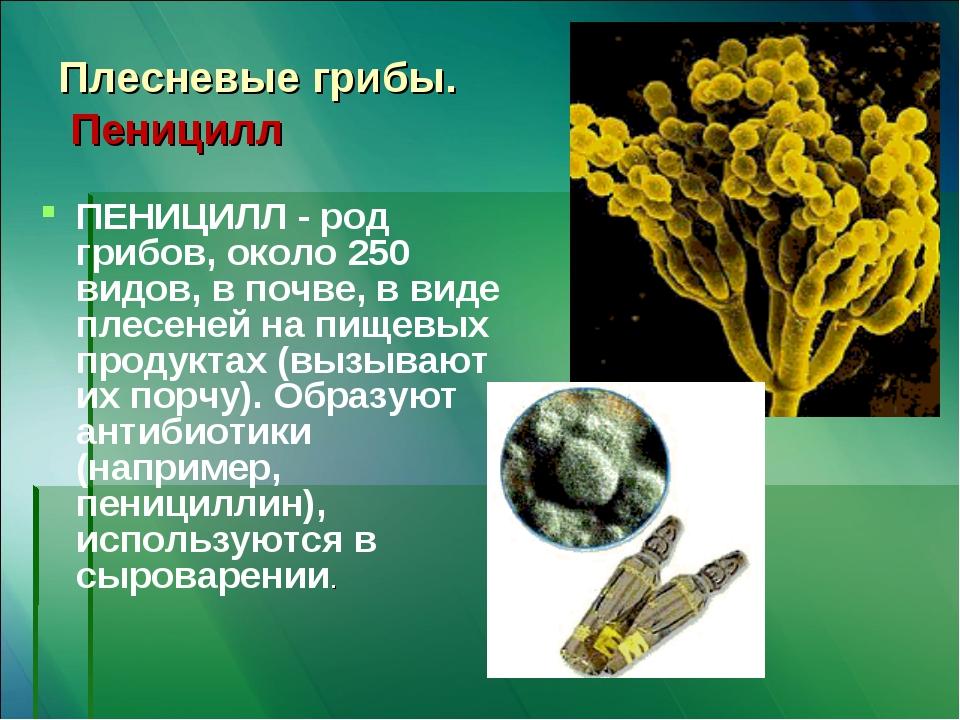Плесневые грибы. Пеницилл ПЕНИЦИЛЛ - род грибов, около 250 видов, в почве, в...