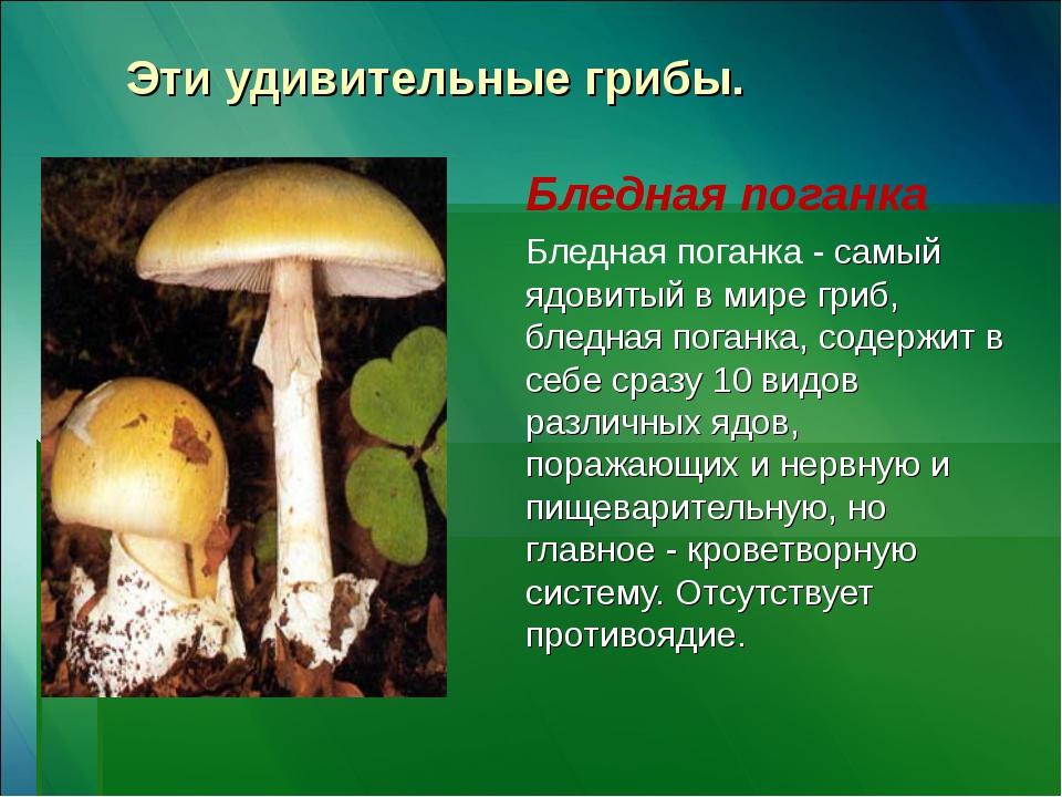 Эти удивительные грибы. Бледная поганка Бледная поганка - самый ядовитый в ми...