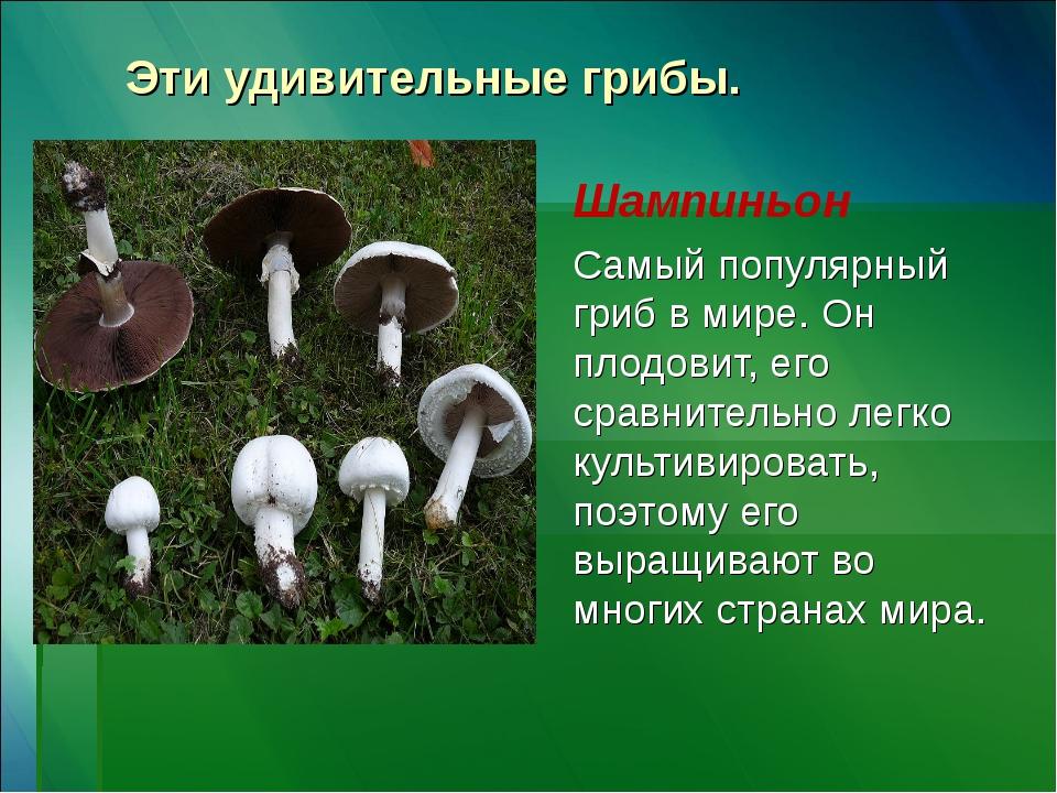 Эти удивительные грибы. Шампиньон Самый популярный гриб в мире. Он плодовит,...