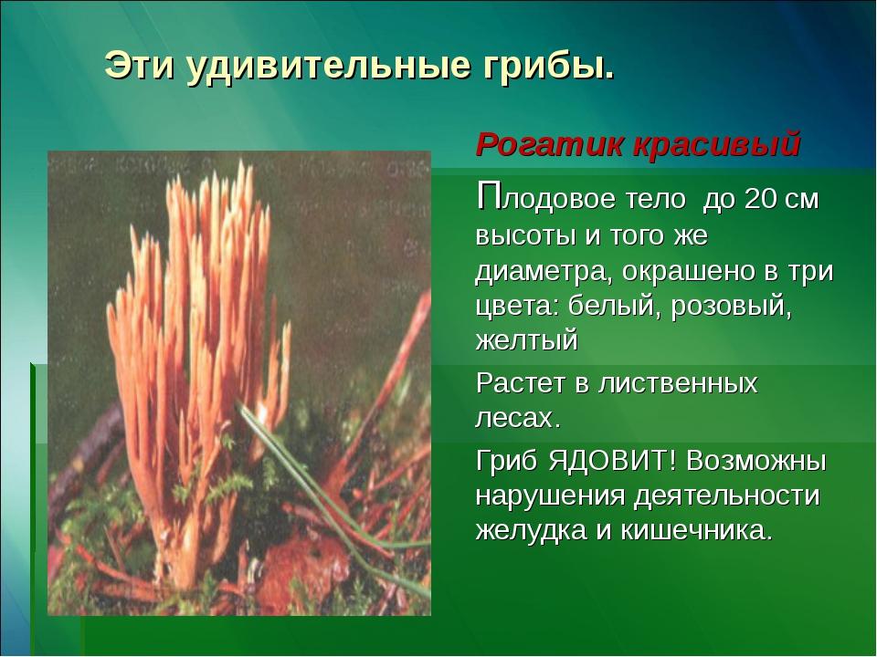 Эти удивительные грибы. Рогатик красивый Плодовое тело до 20 см высоты и того...