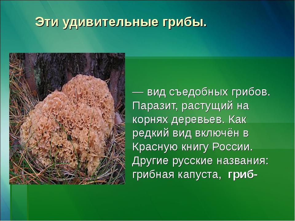 Эти удивительные грибы. Спара́ссис курча́вый, или Спарассис кудря́вый — вид с...