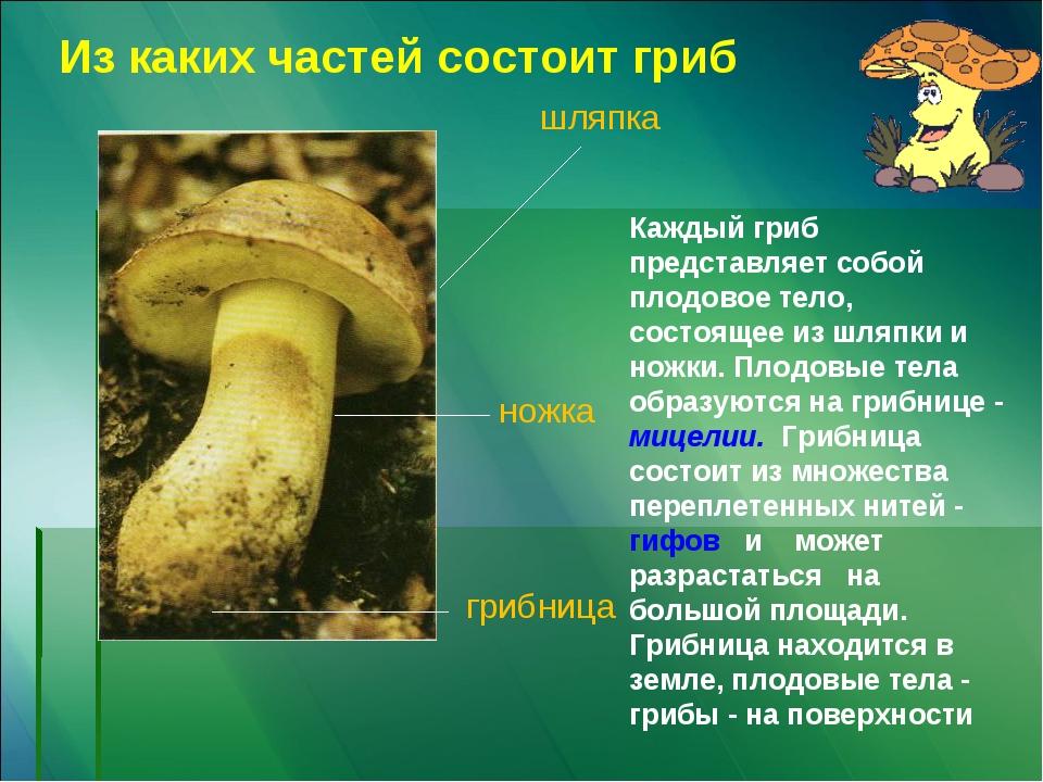 шляпка ножка грибница Из каких частей состоит гриб Каждый гриб представляет с...